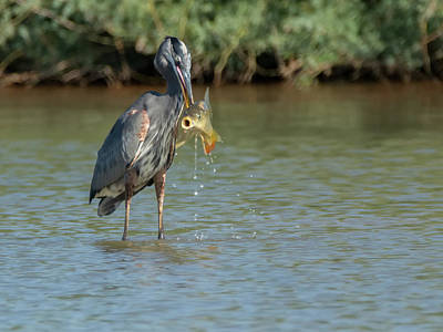 Photograph - Great Blue Heron And Fish 3505-100818-1cr by Tam Ryan