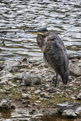 Photograph - Great Blue Heron At Carmen Reservoir, No. 3 by Belinda Greb