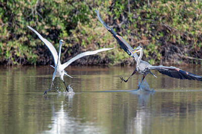 Photograph - Great Blue Heron Chasing Great Egret 3568-100818-1 by Tam Ryan