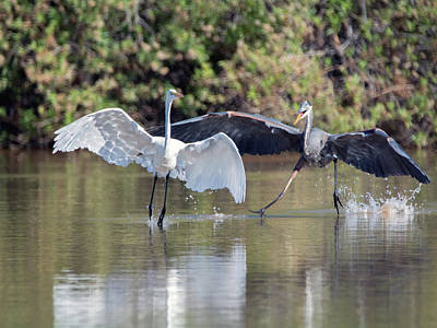 Photograph - Great Blue Heron Chasing Great Egret 3569-100818-1cr by Tam Ryan
