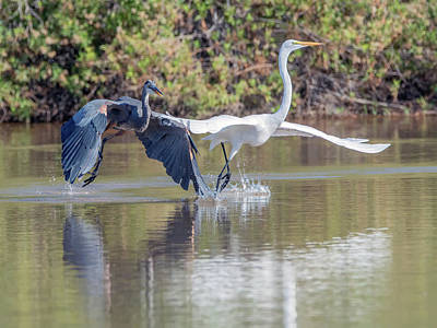 Photograph - Great Blue Heron Chasing Great Egret 3570-100818-1cr by Tam Ryan