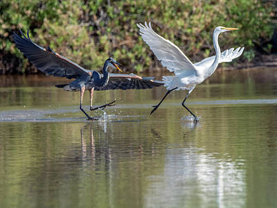 Photograph - Great Blue Heron Chasing Great Egret 3571-100818-1cr by Tam Ryan