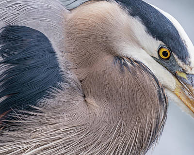 Wall Art - Photograph - Great Blue Heron Feather And Eye Detail by Phil Thach