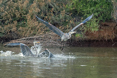 Photograph - Great Blue Heron Fight 4782-121118-1cr by Tam Ryan