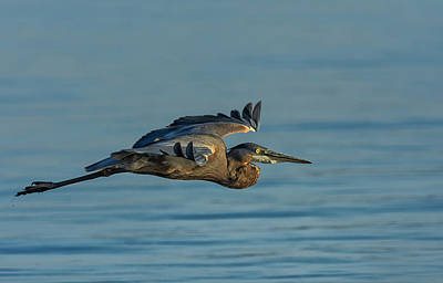 Photograph - Great Blue Heron Flying 2 by Rick Mosher