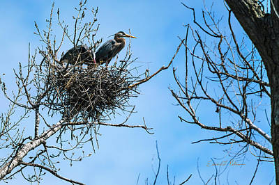 Photograph - Great Blue Heron Home by Edward Peterson