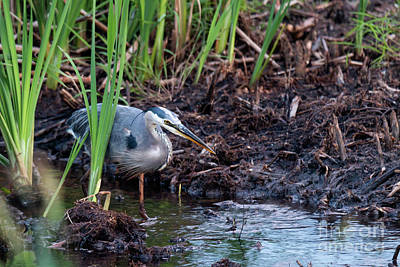 Photograph - Great Blue Heron Hunting by Sheila Skogen