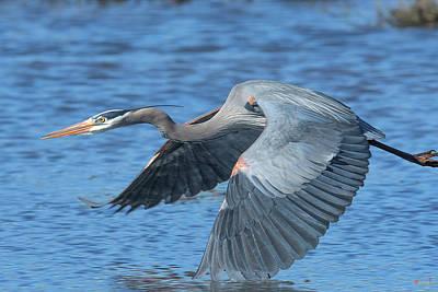 Photograph - Great Blue Heron In Flight Dmsb0153 by Gerry Gantt