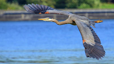 Photograph - Great Blue Heron In Flight by Hagen Pflueger