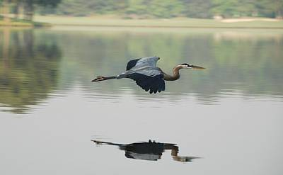 Flying Photograph - Great Blue Heron In Flight by Photo By Hannu & Hannele, Kingwood, Tx