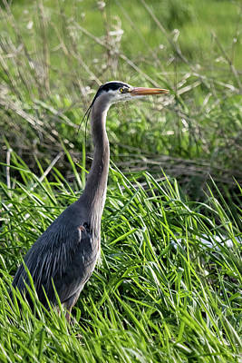Photograph - Great Blue Heron In The Grass by Belinda Greb