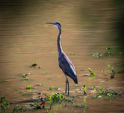 Photograph - Great Blue Heron In The Heat by Lora J Wilson