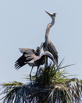 Photograph - Great Blue Heron Mating Display I by Dawn Currie