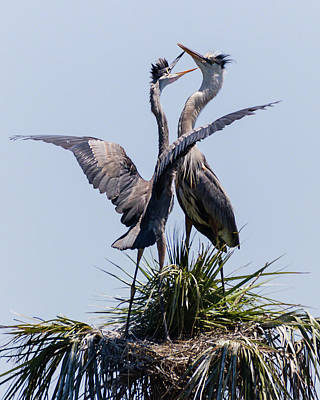 Photograph - Great Blue Heron Mating Display II by Dawn Currie