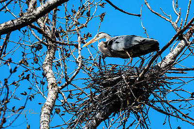 Photograph - Great Blue Heron Nesting by Edward Peterson