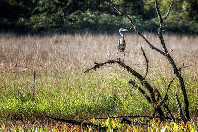 Photograph - Great Blue Heron On A Snag by Belinda Greb