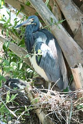 Photograph - Great Blue Heron On Nest With Baby by Carol Groenen