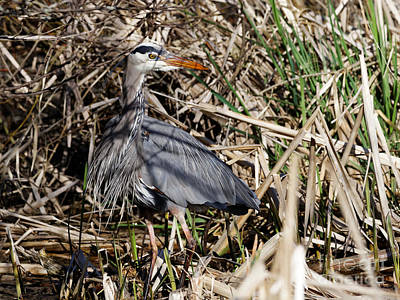 Photograph - Great Blue Heron Out Of The Marshy Shadows by Sue Harper