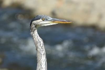 Photograph - Great Blue Heron Portrait by Fraida Gutovich