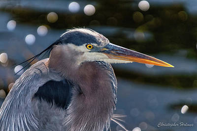 Photograph - Great Blue Heron Profile by Christopher Holmes