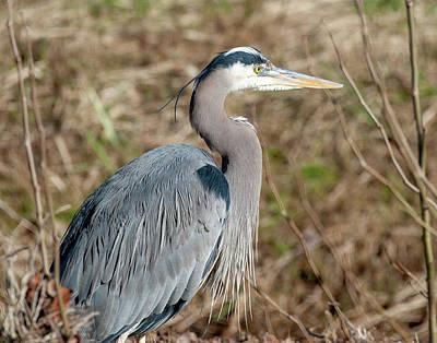Photograph - Great Blue Heron Profile by Lara Ellis