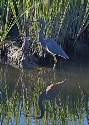 Photograph - Great Blue Heron Reflecting by Bruce Gourley