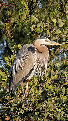 Photograph - Great Blue Heron Repose by HH Photography of Florida