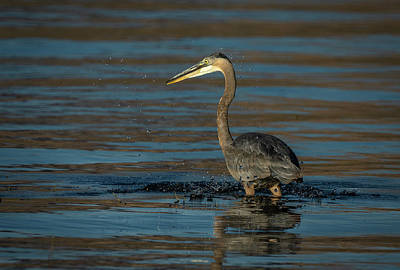 Photograph - Great Blue Heron by Rick Mosher