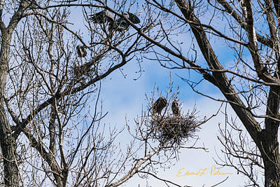 Photograph - Great Blue Heron Rookery by Edward Peterson