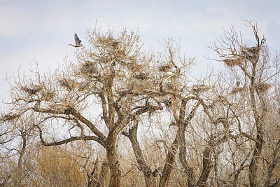 Photograph - Great Blue Heron Rookery by James BO Insogna