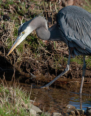 Photograph - Great Blue Heron The Hunter by Lara Ellis