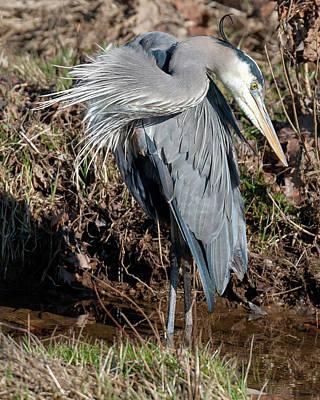 Photograph - Great Blue Heron The Poser by Lara Ellis