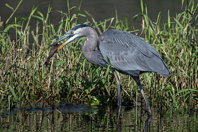 Photograph - Great Blue Heron With Fish by Ken Stampfer
