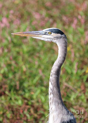 Photograph - Great Blue Heron With Wildflower Background by Carol Groenen