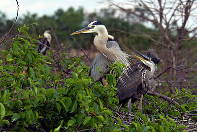 Animal Family Photograph - Great Blue Herons Mother And Baby by Mark Newman