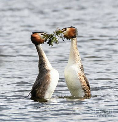 Photograph - Great Crested Grebes And Weed Dance by Colin Rayner
