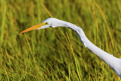 Royalty-Free and Rights-Managed Images - Great Egret 2 by Brian Knott Photography