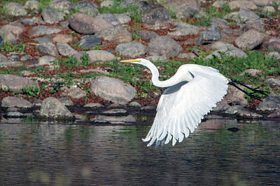 Photograph - Great Egret 3755-020119 by Tam Ryan