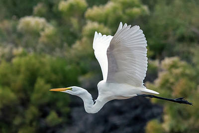 Photograph - Great Egret 4383-121018-1 by Tam Ryan