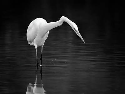 Photograph - Great Egret 4982-102118-2cr-bw by Tam Ryan