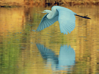 Photograph - Great Egret 8138-110418-1cr by Tam Ryan