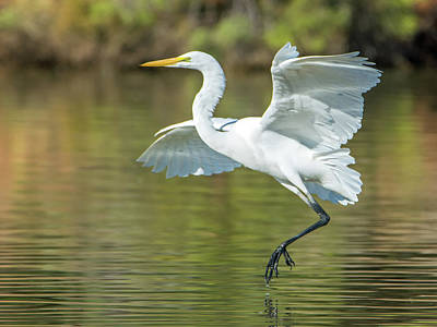 Photograph - Great Egret 8372-110418-1cr by Tam Ryan