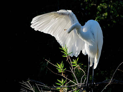 Photograph - Great Egret 8690-110818-cr by Tam Ryan