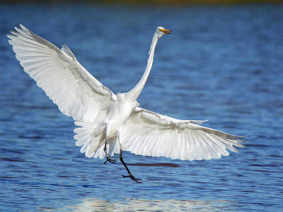 Photograph - Great Egret 8954-110918-1cr by Tam Ryan