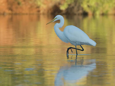Photograph - Great Egret 9071-111018-1cr by Tam Ryan