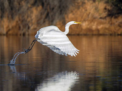 Photograph - Great Egret 9101-111018-2cr by Tam Ryan