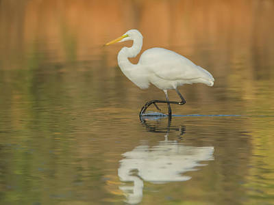 Photograph - Great Egret 9304-111118-1cr by Tam Ryan