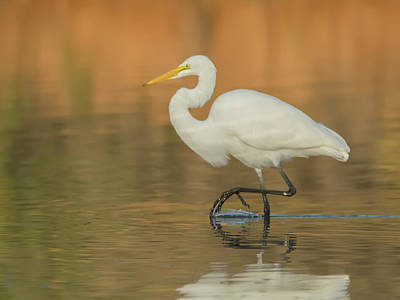 Photograph - Great Egret 9304-111118-2cr by Tam Ryan