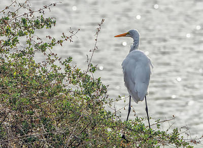 Photograph - Great Egret 9517-123118-3cr by Tam Ryan