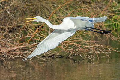 Photograph - Great Egret 9555-010219-1 by Tam Ryan